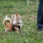 Chihuahua Langhaar beim Training zum Gehen an lockerer Leine